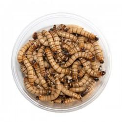 Crvi Zoophobas morio 100 g