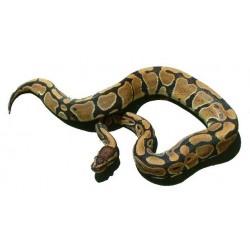 Kraljevski piton - Python regius (normal)