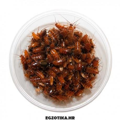 Blatta lateralis žohari