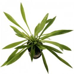 Echinodorus latifolius
