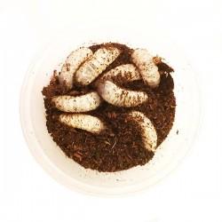 Larva voćnog kornjaša - Pachnoda marginata