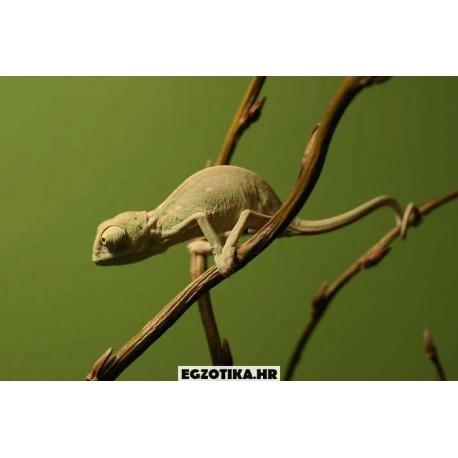 Jemenski kameleon