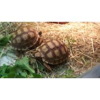 Afrička ostrugasta kornjača - Centrochelys sulcata