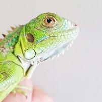 Zelena iguana - Iguana iguana