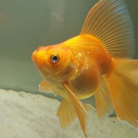 Zlatne ribe
