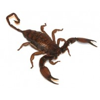Motivi škorpiona